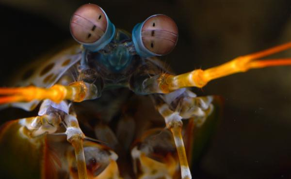 """The mantis shrimp has """"hexnocular vision"""" (as opposed to our binocular vision), thanks to its three """"pseudopupils"""" in each eye."""