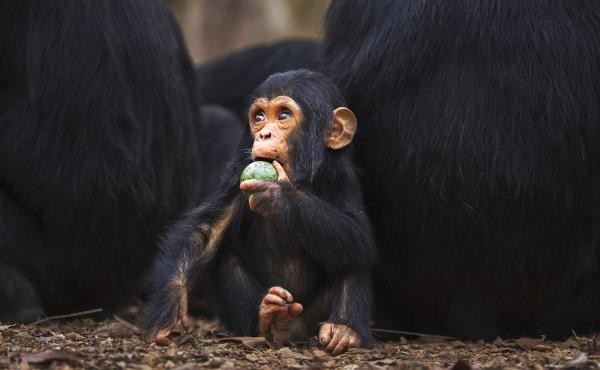 Compared to leaf-eaters, primates who ate fruit had around 25 percent more brain tissue.