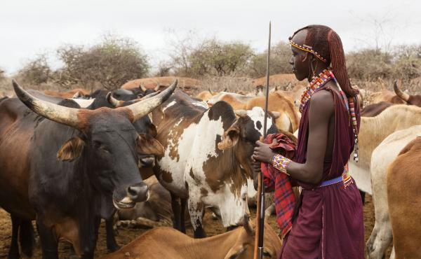 """A Maasai warrior with cattle in Kenya. His beaded adornments are the kind of objects featured at the Baltimore Museum of Art's """"Designs for Mobile Living: Art from Eastern Africa"""" exhibit."""