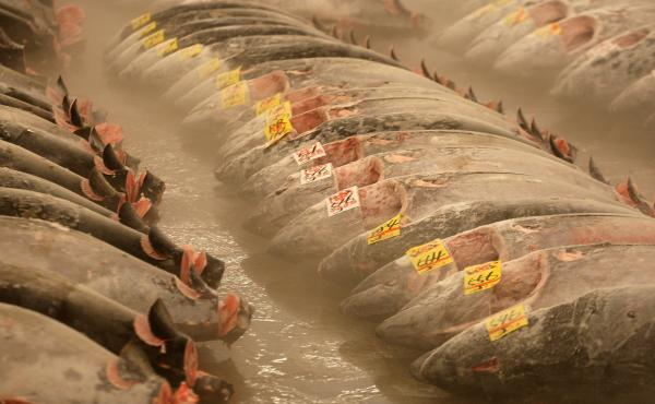 Frozen tuna lies on the ground at the Tsukiji fish market in Tokyo. The FDA recommends freezing raw fish before serving it in sushi as a way to keep it free of parasites. But as a recent outbreak of Salmonella in the U.S. highlights, freezing doesn't guar