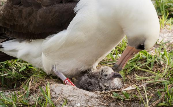 At approximately 66 years old, Wisdom, the world's oldest known breeding bird in the wild, is a mother again at Midway Atoll National Wildlife Refuge and Battle of Midway National Memorial in Hawaii.