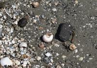 Tar balls can still be found on the beach of Grande Terre, an island off the Louisiana coast.