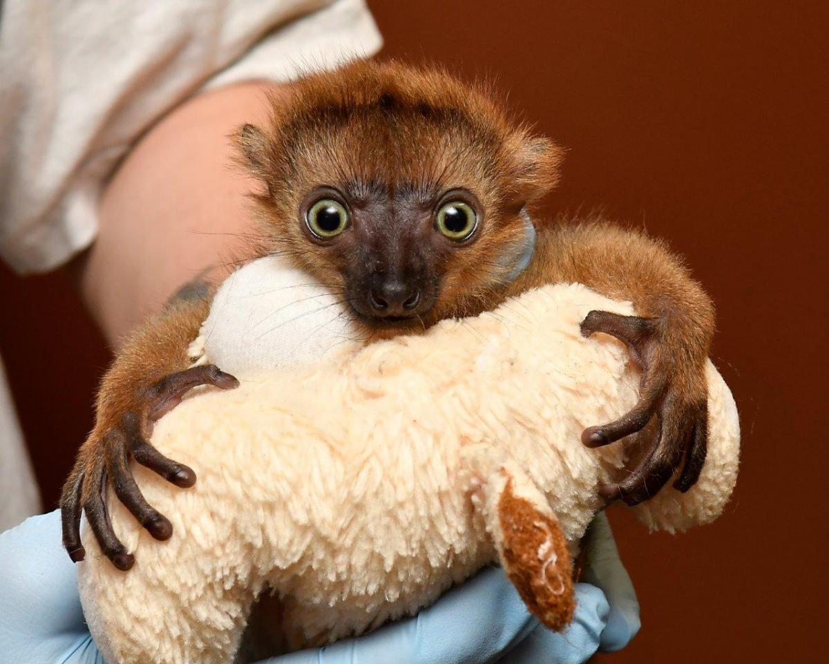 Endangered Blue Eyed Black Lemur Born In Nc 88 5 Wfdd