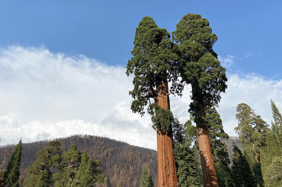 Living more than 3,000 years, giant sequoias normally survive dozens of low-grade wildfires in their lifetimes by towering over the rest of the forest. These barely escaped the Castle Fire in 2020.