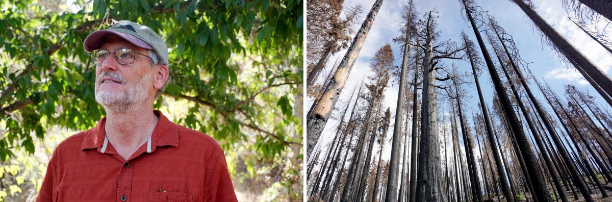 """Over many decades studying sequoias, Nate Stephenson had never seen old-growth sequoias die in large numbers until recently. """"That's just unheard of,"""" he says."""