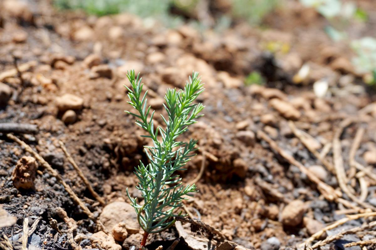 In some sequoia groves, few seedlings are being found in the aftermath of the Castle Fire. Those that have sprouted face surviving a summer of extreme drought.