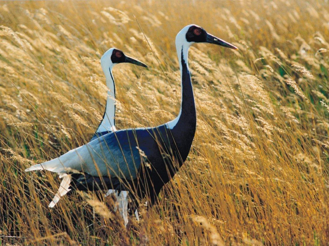 About 3,000 white-naped cranes migrate across the Korean peninsula every year — and several hundred winter over in the Demilitarized Zone between North and South Korea.