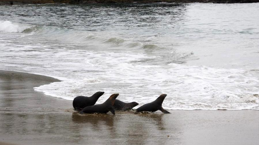 Four young and healthy sea lions the Pacific Marine Mammal Center cared for make a quick dash back into the ocean.