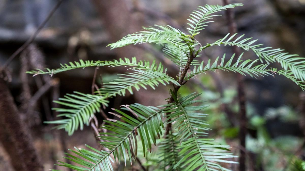 The Wollemi pine can grow as tall as 130 feet. People are urged to not look for the groves, as they might trample young plants.
