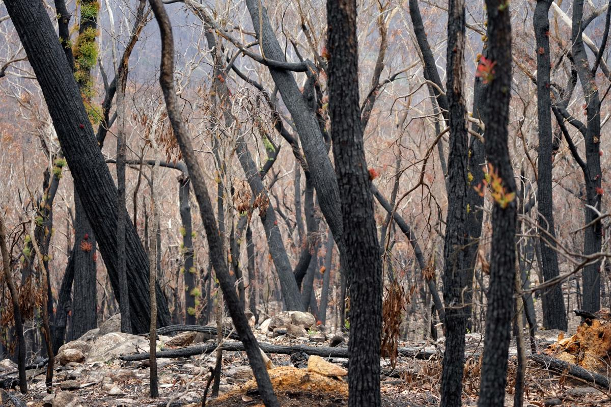 More than one-fifth of Australia's eucalypt forests burnt during the recent fire season. The scale of the disaster is concerning to ecologists, because it's unprecedented.
