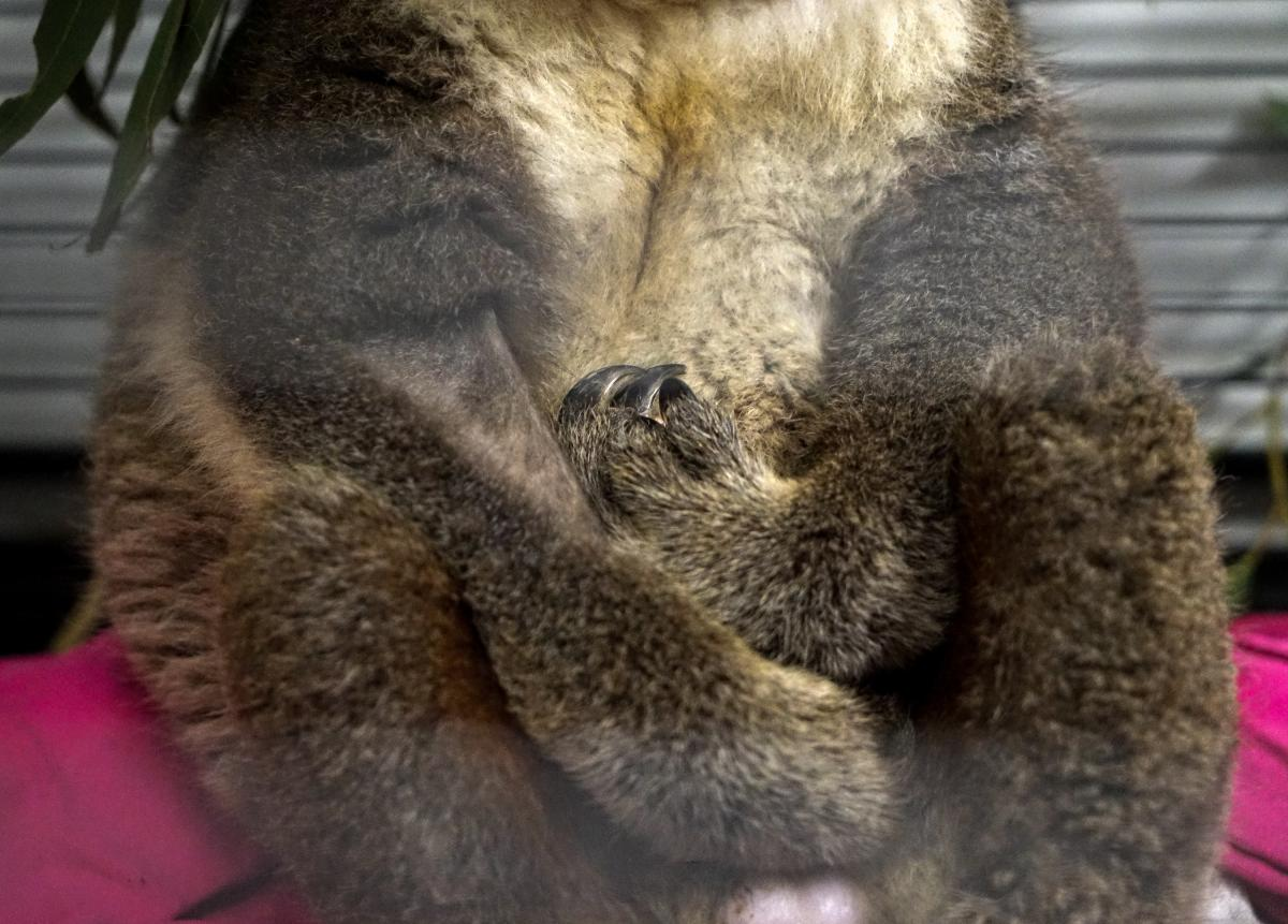 Paul, a male koala, was rescued with burnt paws. Biologists removed the bandages a few days before, but the koala still won't climb on the branches in his cage because of his tender paws.