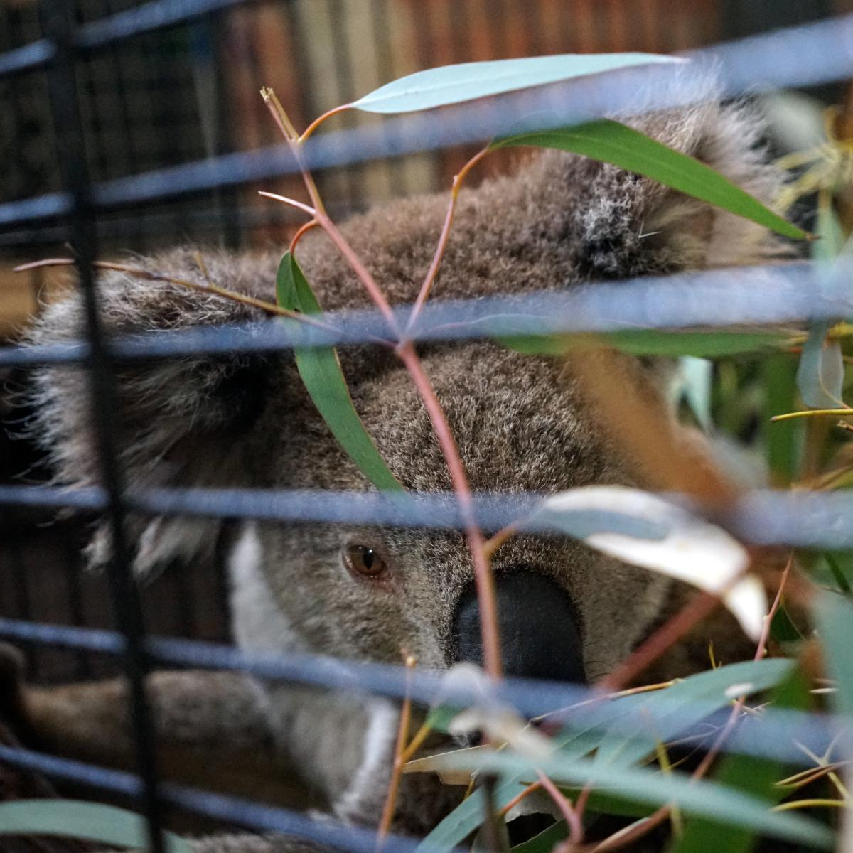 Rescued koalas are being held in captivity until they're in good health and can be released back in the wild. Many of the koalas that were brought in were starving and malnourished.