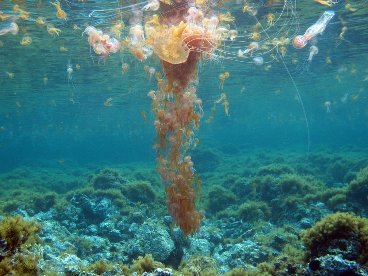 Marine biologist Stefano Piraino thinks overfishing is one of the reasons jellyfish populations are growing. He said if you take fish out of the oceans, it leaves more food for jellyfish. The jellyfish here are known as Pelagia noctiluca, the mauve stinge