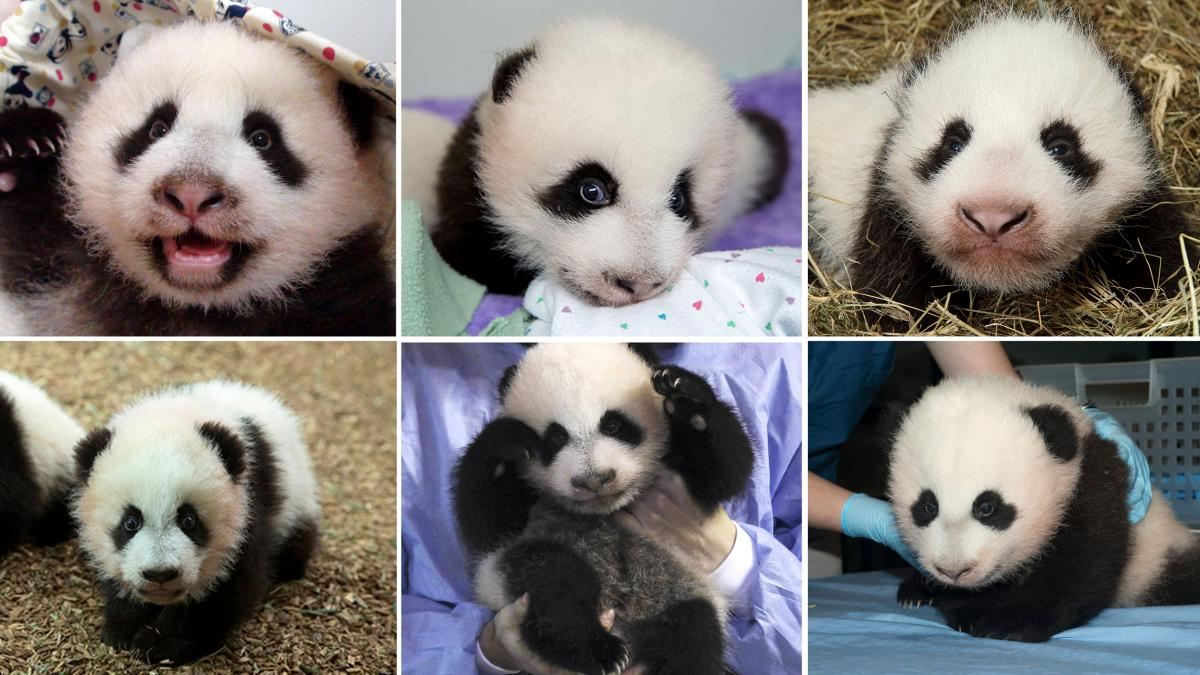 (Clockwise, from left)Yuanzai; Mei Huan; Happy Leopard; Mei Lun; Xing Bao; Bao Bao.