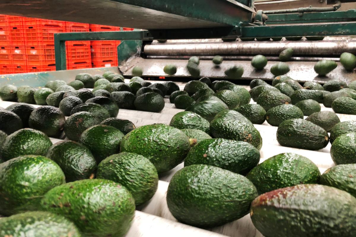 Mexican avocados roll down a production line at Frutas Finas packing plant in Tancitaro, in the western Mexican state of Michoacán. Production has ramped up by 50 percent since December to satisfy demand in the US for Super Bowl Sunday, the highest consu