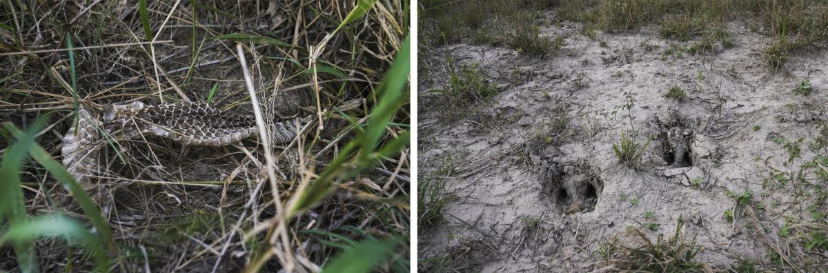 Snake skin (left) and animal footprints are seen on Zavaleta's ranch. Wildlife conservationists are wondering how much of an obstruction the barrier will be to animals that range along the river.