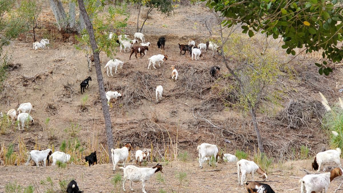 Goats are able to better navigate and clear brush from steep hills, where humans walking with weed wackers or riding on lawn mowers can't easily go.