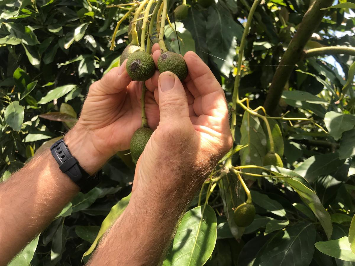Scott Van Der Kar shows the scarring caused by avocado thrips after he couldn't spray his usual pesticides.