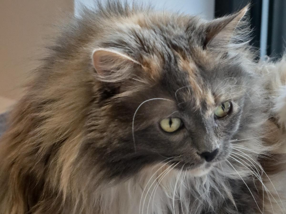 Griselda , 11, a domestic long-haired cat, already declawed when she was surrendered by her owner for adoption, plays inside her enclosure at the Animal Haven pet shelter in New York.