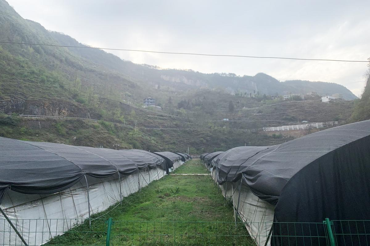 Rows of greenhouses stand in Bijie where Sun helps grow shiitake mushrooms. He says the crop brings in dozens of more times the revenue that corn fields once did.