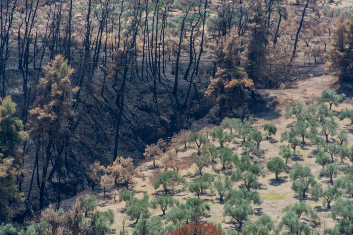 Catastrophic fires last month destroyed a large swath of forest in the north of Evia, Greece's second-largest island. It also burned fields of olive trees.