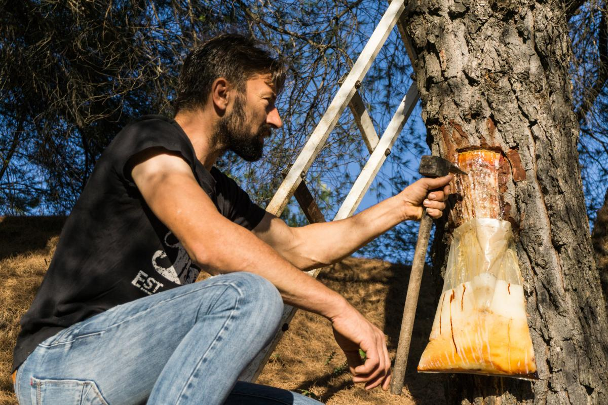 Giorgos Anagnostou shows how resin is collected from a pine tree that didn't burn down during last month's fires. Men in his village, Kourkouloi, in northern Evia, provided a large portion of Greece's resin production, which is used in everything from cos