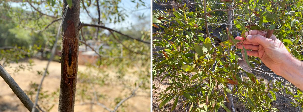 Researchers at the University of California, Berkeley say that a fungus is killing this acacia tree (left). The eye-shaped hole is a canker, a sign of the fungus's presence. Lacan shows the yellowed phyllodes (right) of a dying acacia. Climate change-fuel