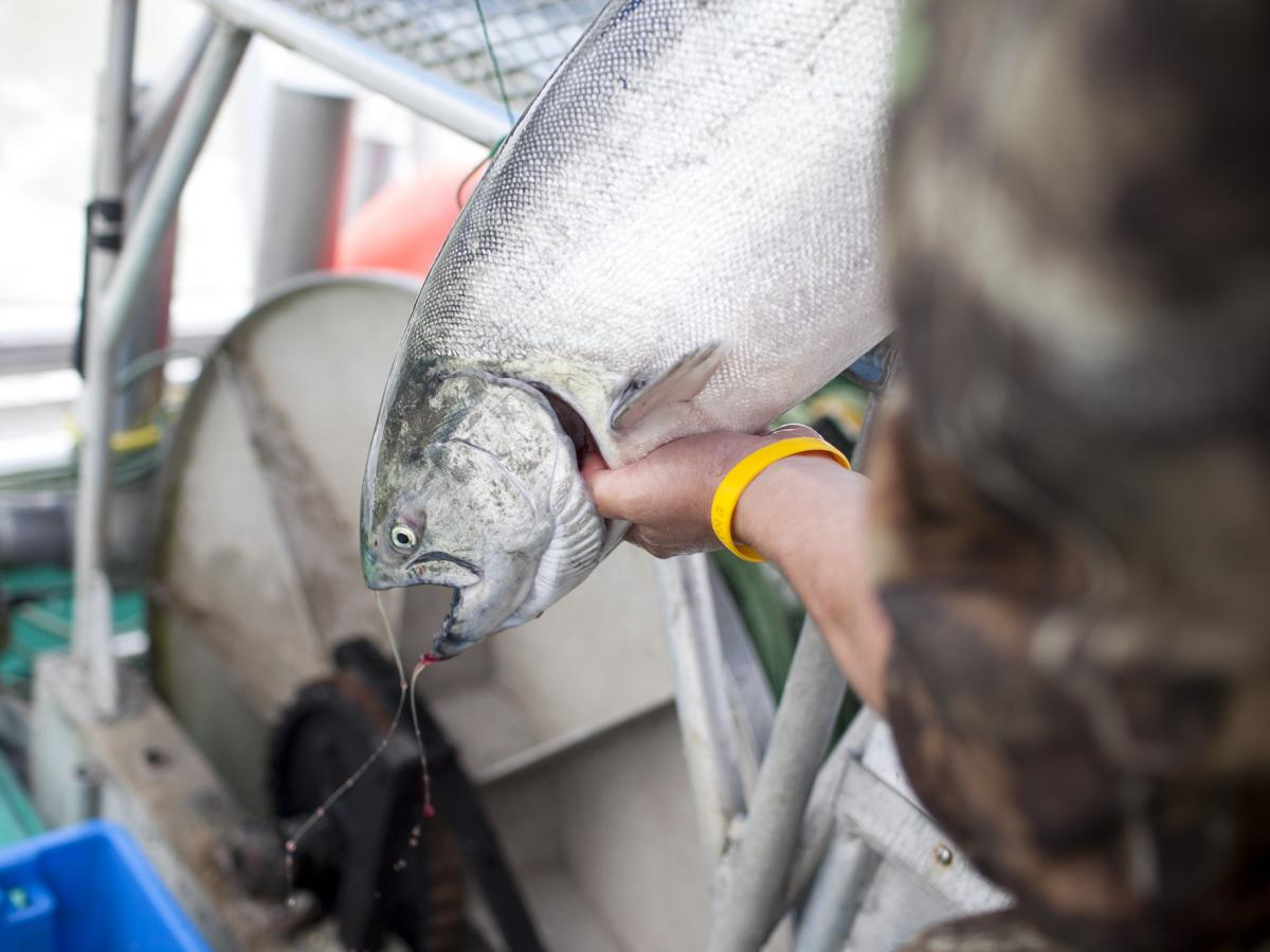 """A sockeye salmon that was caught from the research vessel Miss Delta off the coast of Vancouver is examined. The MSC has certified the fish as """"sustainable"""" even though there is concern from scientists and environmentalists."""