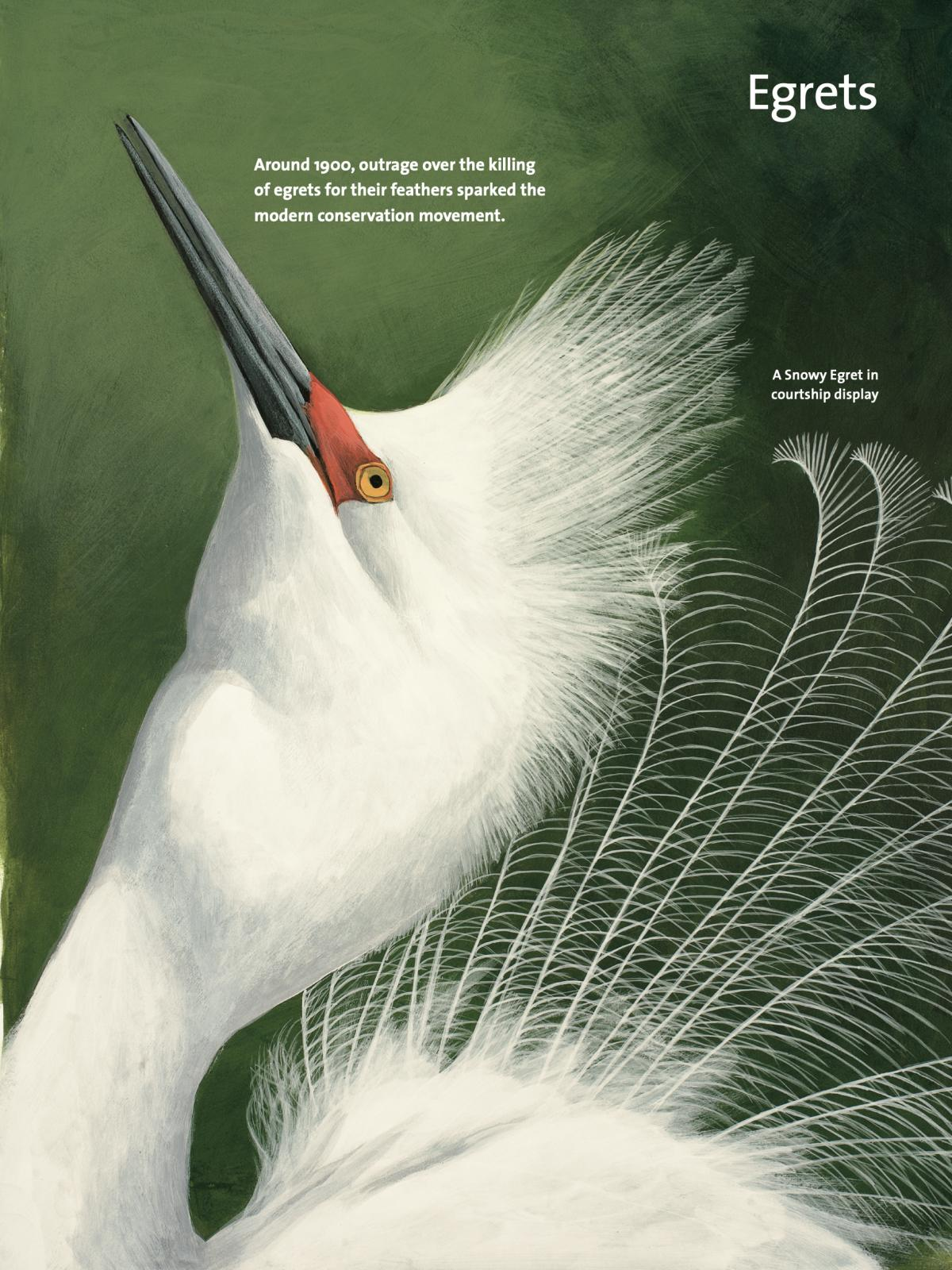 A page on Egrets from David Allen Sibley's What It's Like To Be A Bird.