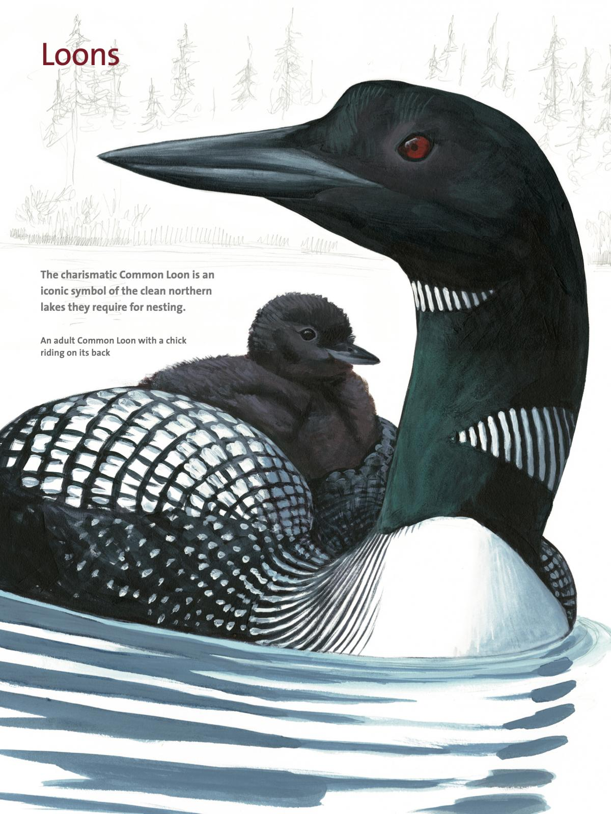A page on Loons from David Allen Sibley's What It's Like To Be A Bird.