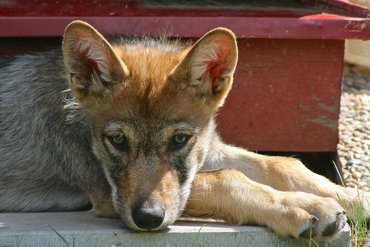 One researcher says that the willingness to fetch might not be a dog trait, but a trait that existed in ancestral wolf populations.