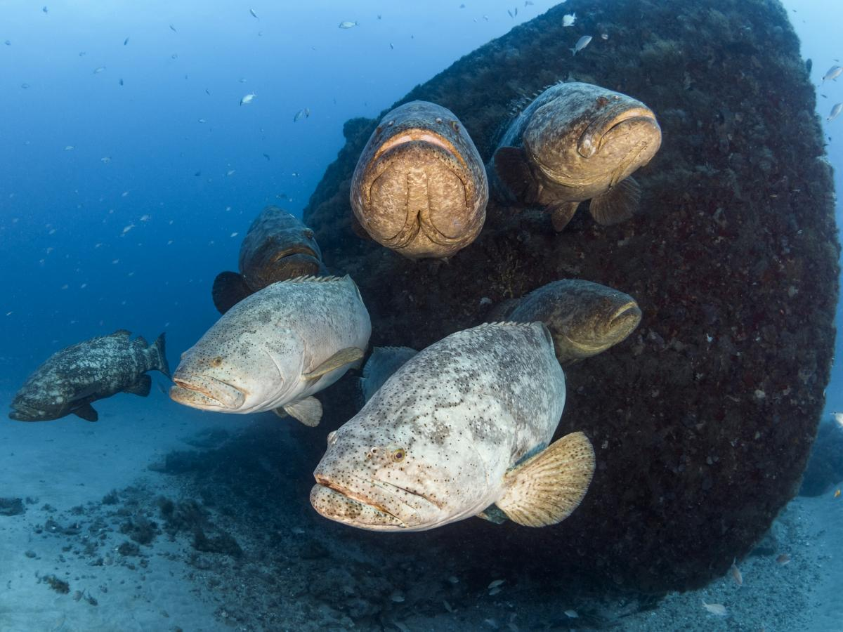Goliath groupers have been protected since 1990, after they were nearly wiped out.