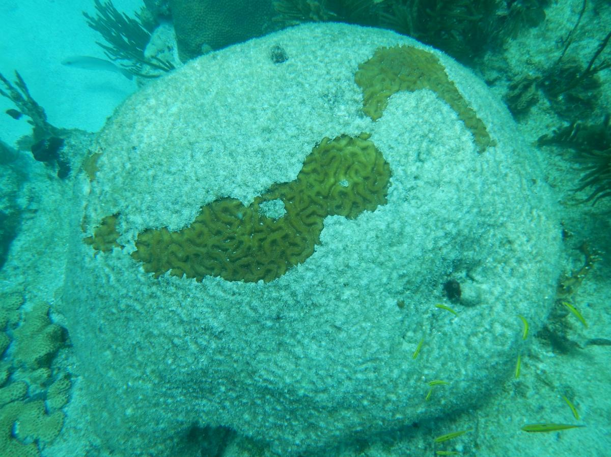 A dying brain coral in Looe Key in the lower Florida Keys pictured in March 2016.