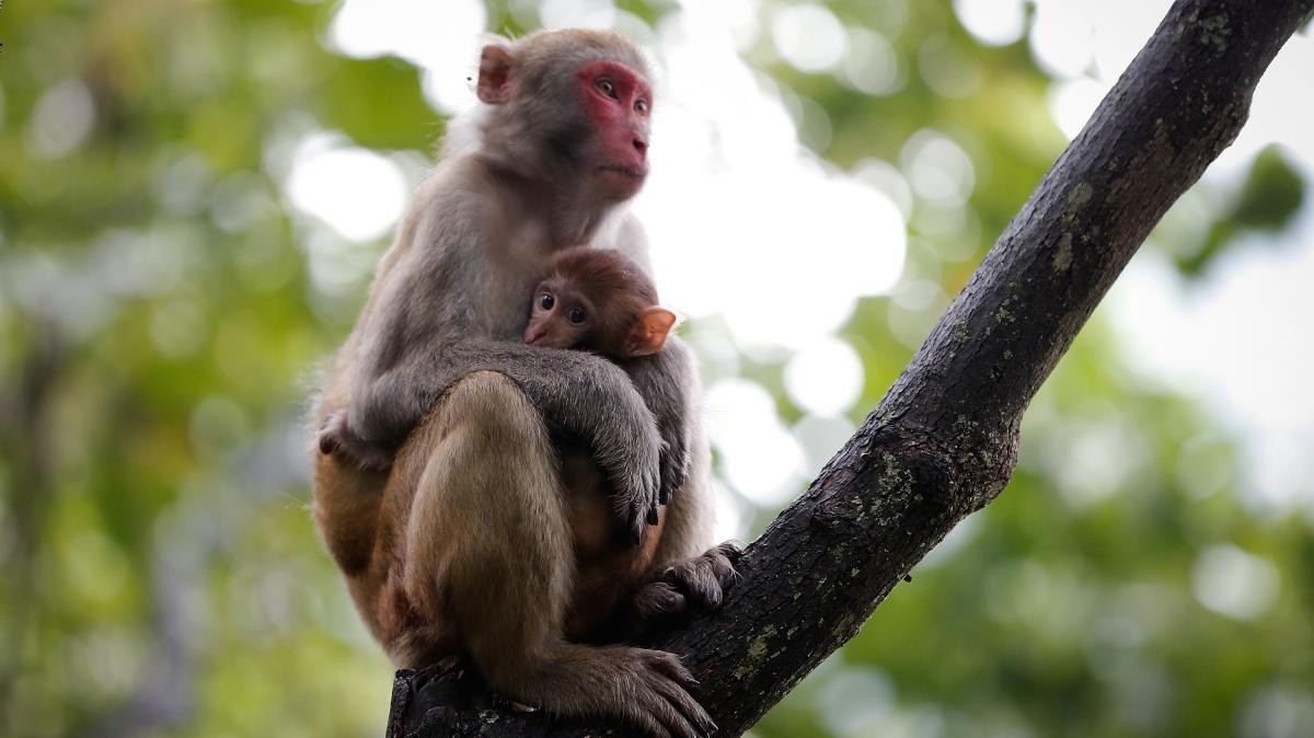 Primatologist Agustin Fuentes turned his sights on the macaque after getting lost in search of a much more elusive monkey.