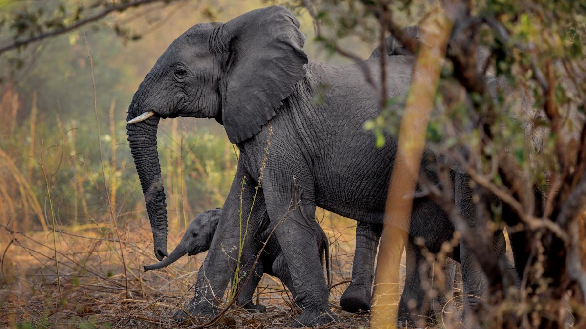 Baby elephants are a welcome sight in Zakouma National Park in Chad. Thanks to stepped-up enforcement, the park hasn't lost an elephant to poachers since 2012. Without the stress of poaching, the elephants started breeding again and more than 40 calves ha