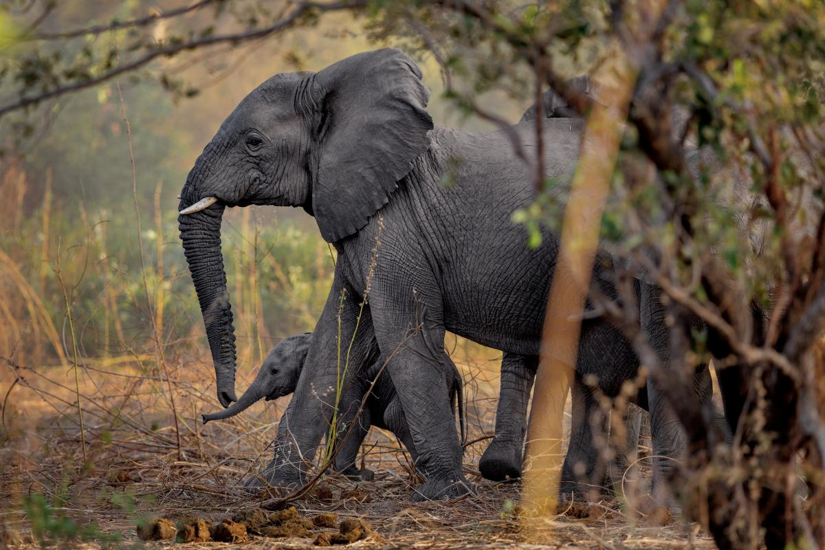 Baby elephants are a welcome sight in Zakouma National Park in Chad. Thanks to stepped-up enforcement, the park hasn't lost an elephant to poachers since 2012. Without the stress of poaching, the elephants started breeding again, and more than 40 calves h