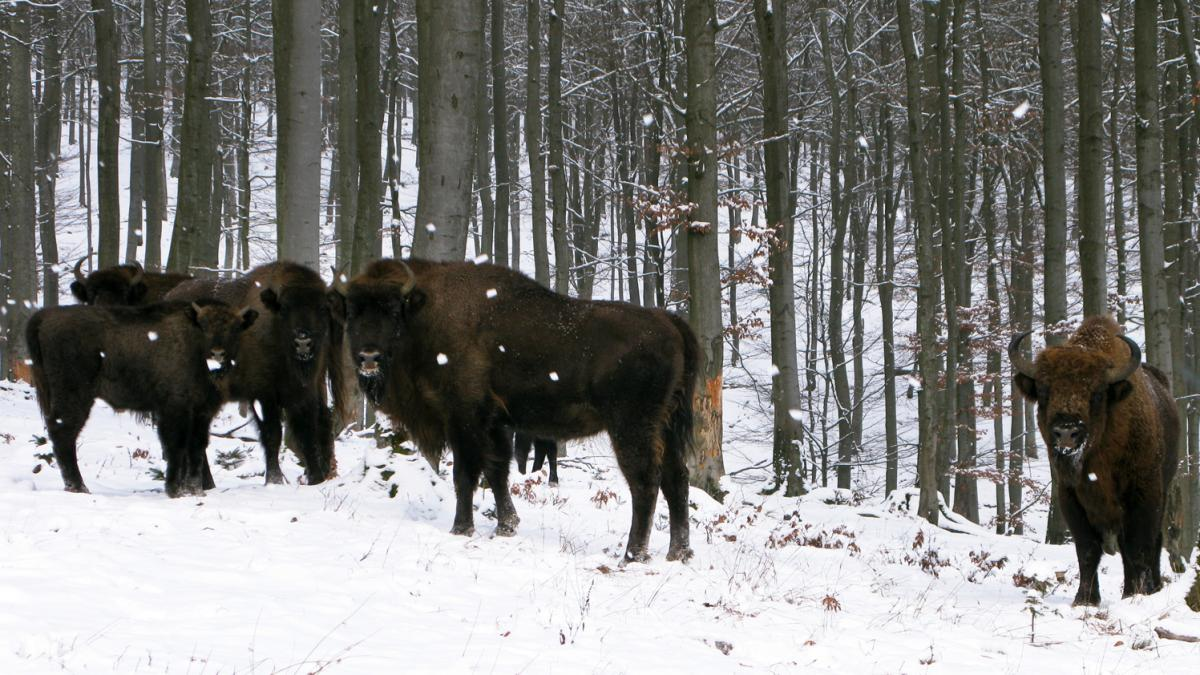 European bison, or wisents, keep a safe distance from human visitors to their enclosure on the property of Prince Richard of Sayn-Wittgenstein-Berleburg in Germany's densely populated state of North Rhine-Westphalia.