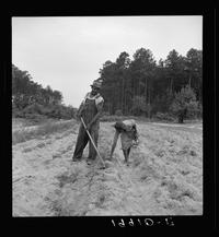 """A sharecropper plants sweet potatoes with his 13-year-old daughter near Olive Hill, N.C., July 1939. """"Her father hopes to send her to school,"""" Lange noted."""