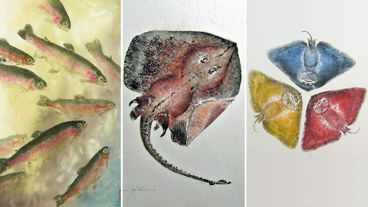 Fishing for fine art: Gyotaku, the art of making inked prints from real fish, originated in 19th century Japan. Above, three examples from modern Gyotaku artist Heather Fortner (from left): Under the Rainbow Rainbow Trout; Little big skate and Primary col