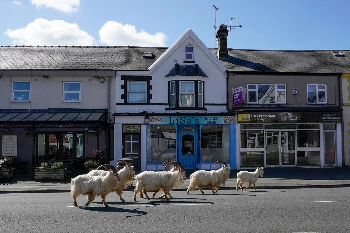 How did these mountain goats decide to take a stroll down the streets of Llandudno, Wales. One theory is that the lack of tourists due to the pandemic made the streets seem more ... enticing? And all it probably took was one curious goat to set the herd o