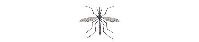 A mosquito    Illustration by Cornelia Li for NPR