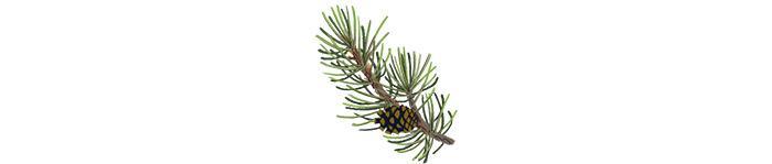Lodgepole pine    Illustration by Cornelia Li for NPR