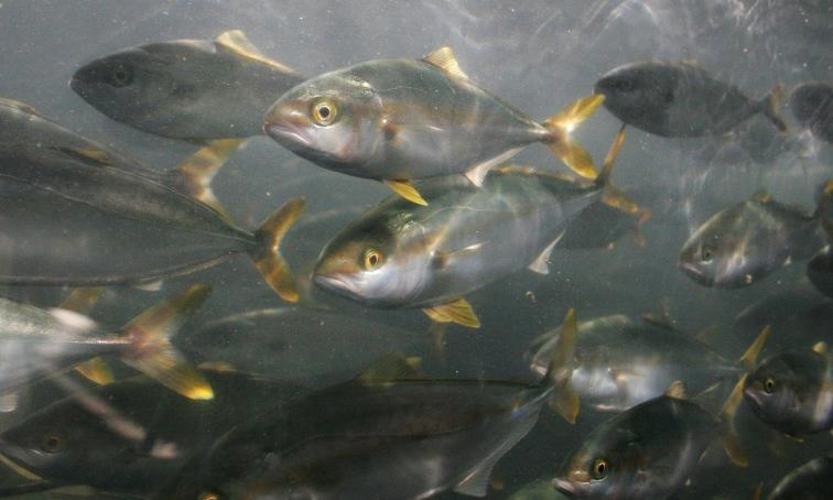 A school of wild yellowtail jack (Seriola lalandi). Rose Canyon Fisheries near San Diego would aim to raise 11 million pounds of yellowtail and seabass each year.