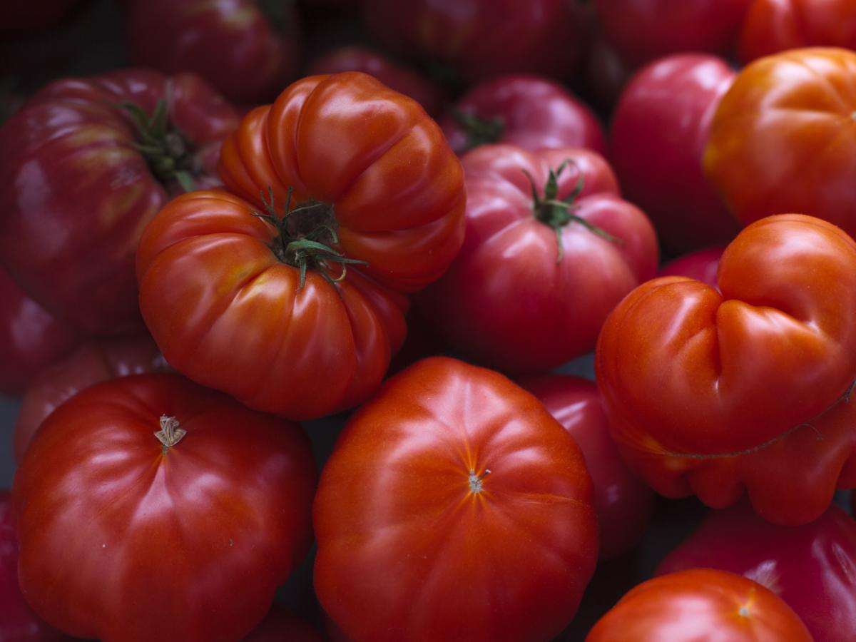 Tomatoes were first exported from South America to Spain and other parts of Europe in the mid-1500s but they were initially grown as an ornamental plant and were regarded with suspicion because botanists recognized it as a relative of the poisonous bellad