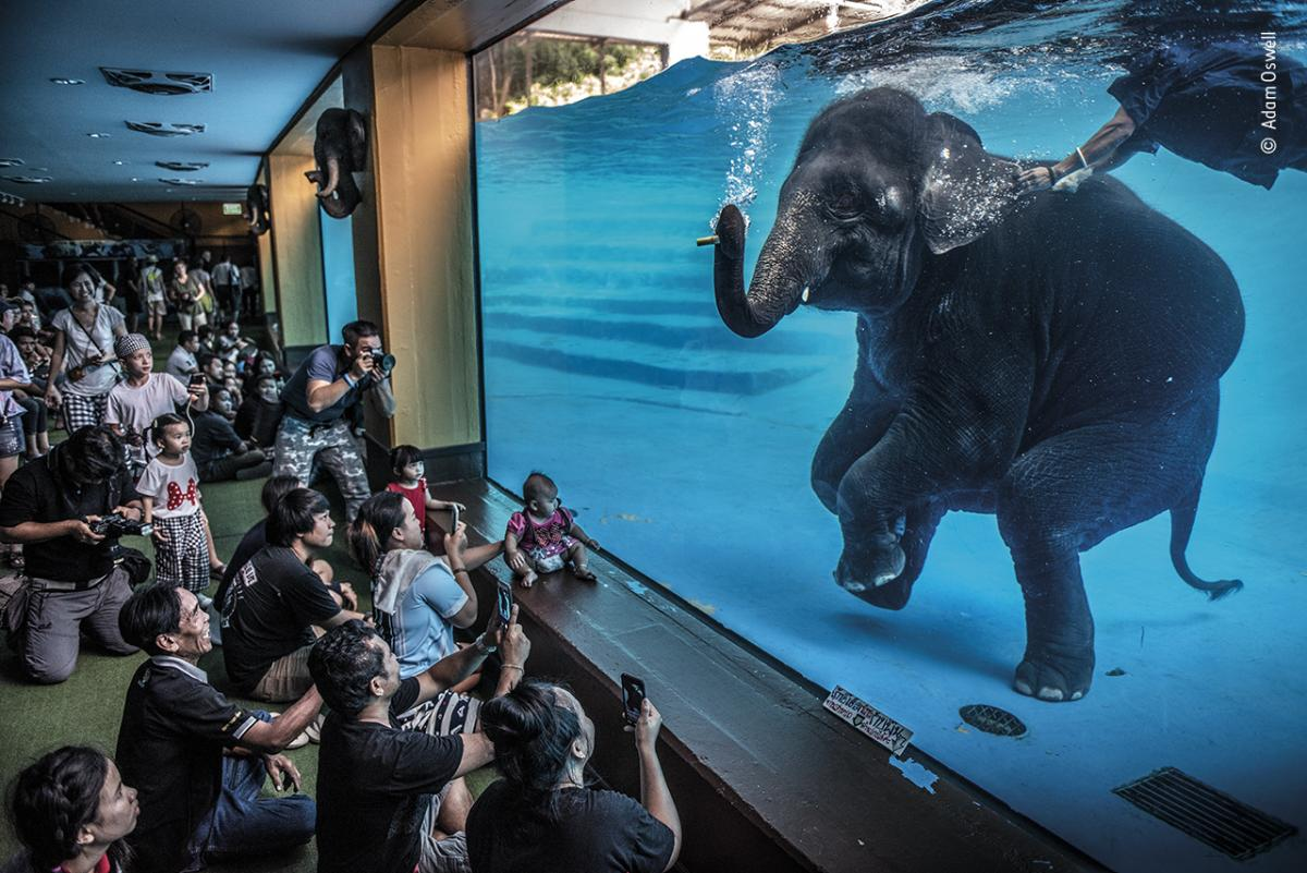 Elephant in the room by Adam Oswell, Australia, Winner, Photojournalism. Adam Oswell draws attention to zoo visitors watching a young elephant perform underwater.