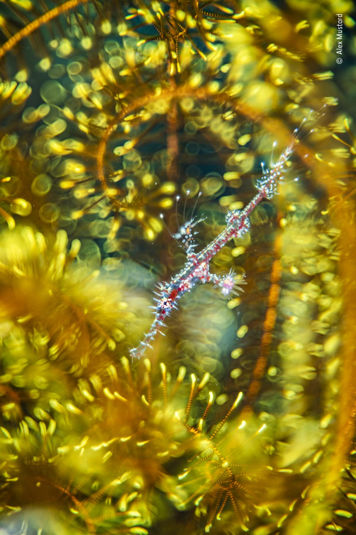 Bedazzled by Alex Mustard, UK, Winner, Natural Artistry. Alex Mustard finds a ghost pipefish hiding among the arms of a feather star. Mustard had always wanted to capture this image of a juvenile ghost pipefish but usually only found darker adults on matc