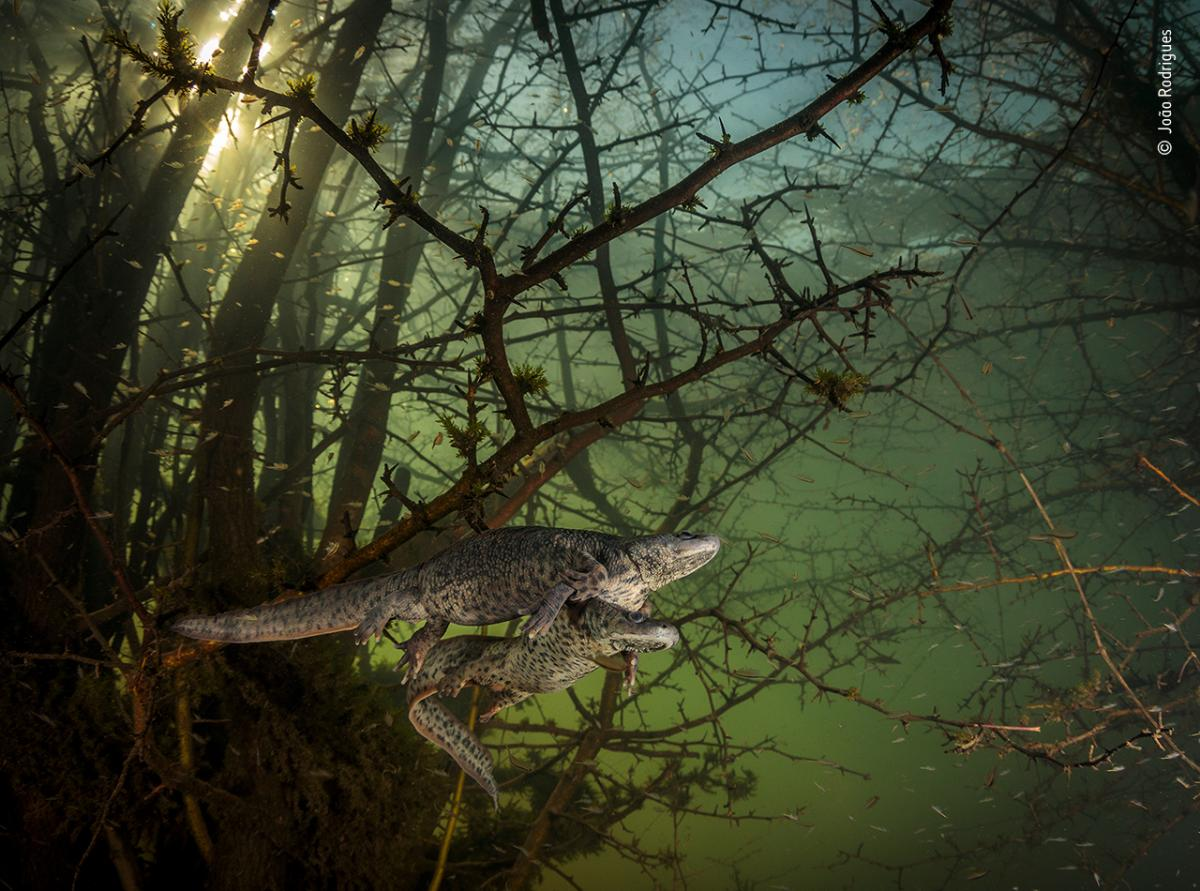 Where the giant newts breed by João Rodrigues, Portugal, Winner, Behaviour: Amphibians and Reptiles. João Rodrigues is surprised by a pair of courting sharp-ribbed salamanders in the flooded forest. It was Rodrigues' first chance in five years to dive i