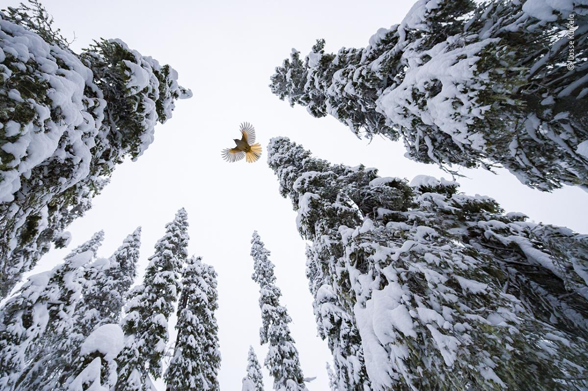 High-flying jay by Lasse Kurkela, Finland, Winner, 15-17 Years. Lasse Kurkela watches a Siberian jay fly to the top of a spruce tree to stash its food. Kurkela wanted to give a sense of scale in his photograph of the Siberian jay, tiny among the old-growt