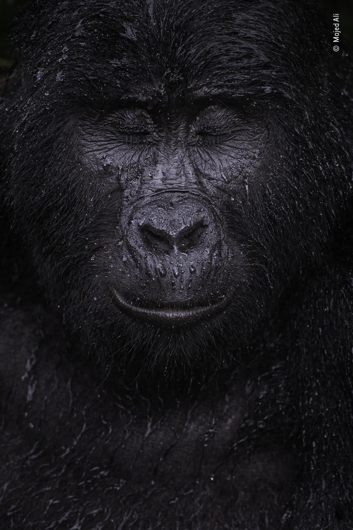 """Reflection by Majed Ali, Kuwait, Winner, Animal Portraits. Majed Ali glimpses the moment a mountain gorilla closes its eyes in the rain. Ali trekked for four hours to meet Kibande, an almost-40-year-old mountain gorilla. """"The more we climbed, the hotter a"""