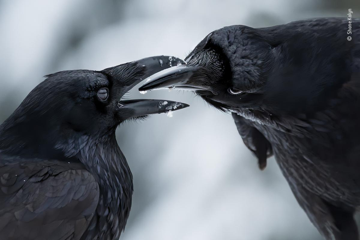 The intimate touch by Shane Kalyn, Canada, Winner, Behaviour: Birds. Shane Kalyn watches a raven courtship display. It was midwinter, the start of the ravens' breeding season. Kalyn lay on the frozen ground using the muted light to capture the detail of t